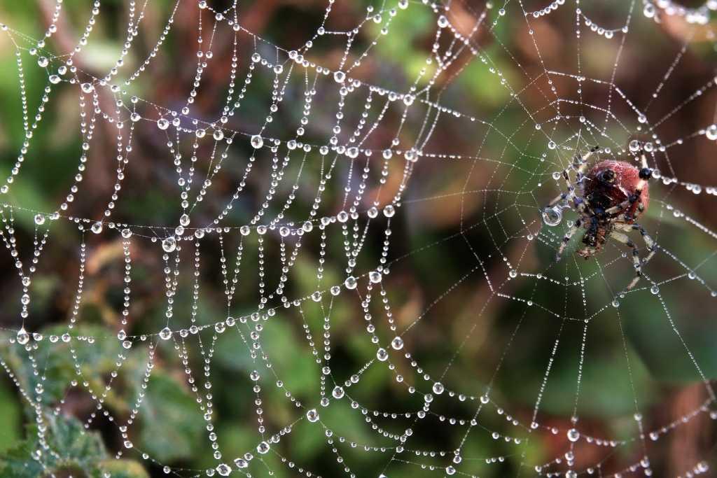 קורי עכביש בסביבה טבעית. מקור התמונה: Brocken Inaglory Wikimedia Commons